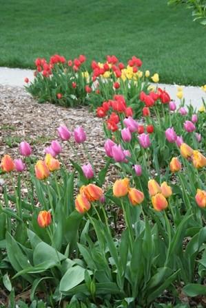20060418_IMG_0051 tulips resized