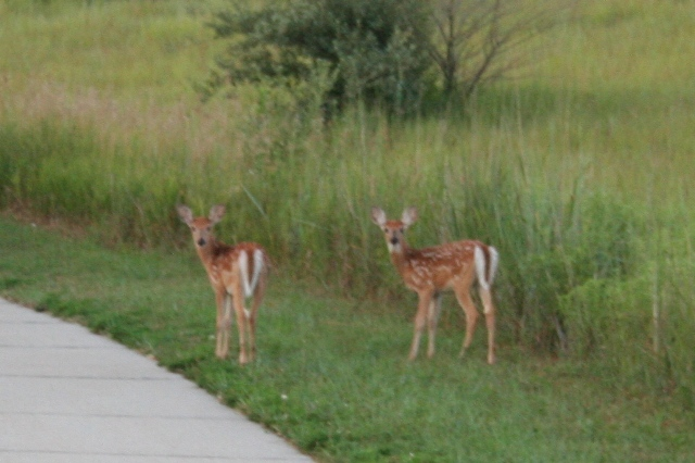 Two Little Deers Copyright 2013 by R.A. Robbins