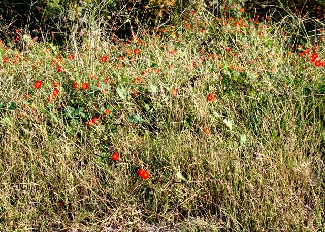 Oklahoma Wildflowers Copyright 2014 by RA Robbins