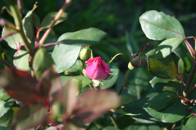 A Perfect Rose Bud Copyright 2015 by R.A. Robbins