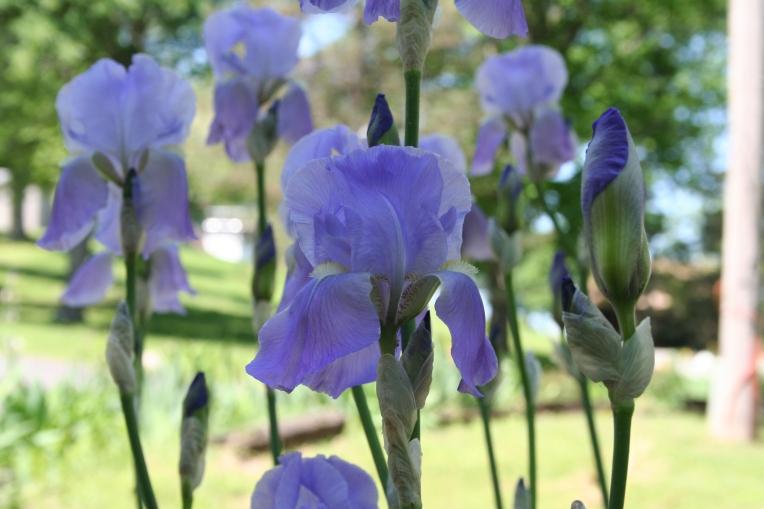 Purple Irises Copyright 2015 by R.A. Robbins