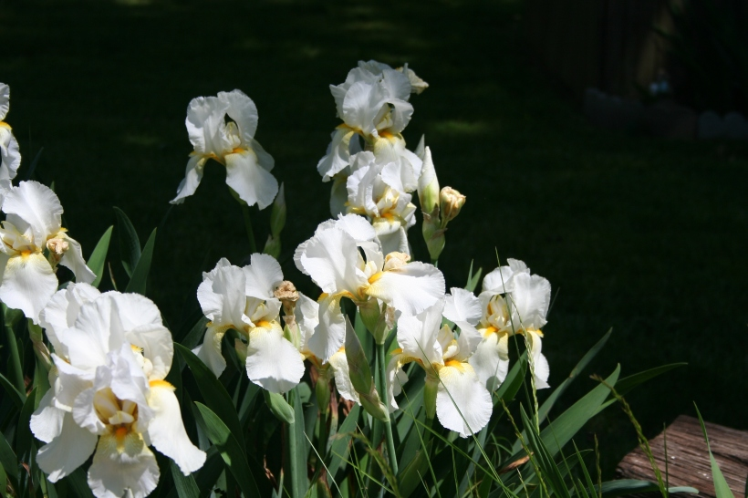 White Irises  Copyright 2015 by R.A. Robbins