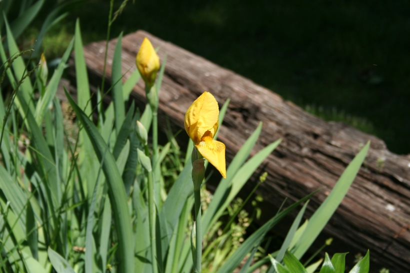 Yellow Iris Buds Copyright 2015 by R.A. Robbins