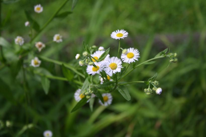 little daisies orig