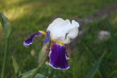 Purple and White Iris Copyright 2015 by  R.A. Robbins