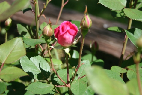 Rosebuds Copyright 2015 by R.A. Robbins