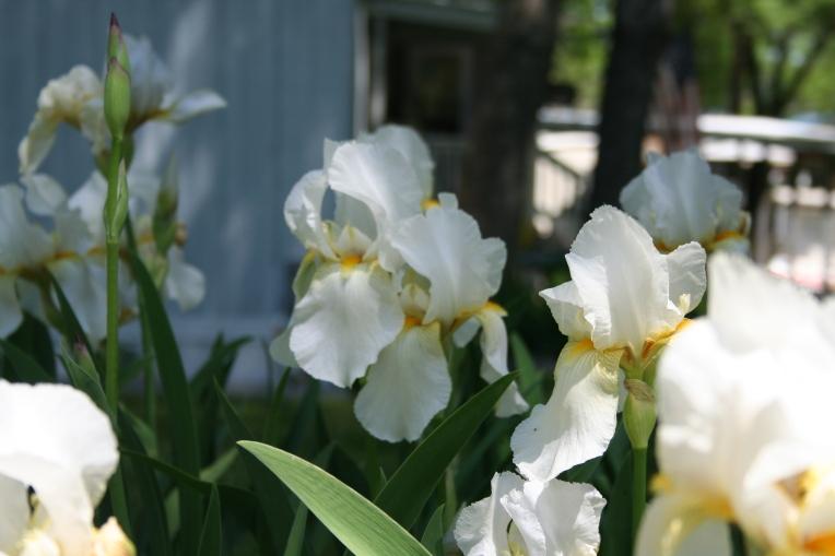 White Irises Copyright 2015 by R.A. Robbins