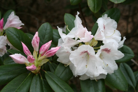 Azaleas in Lendonwood Gardens.  Copyright 2016 by R.A. Robbins
