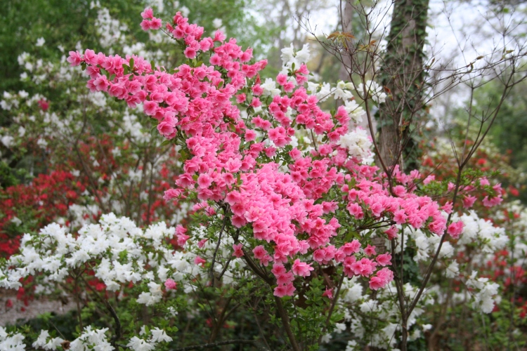 pink and white azaleas