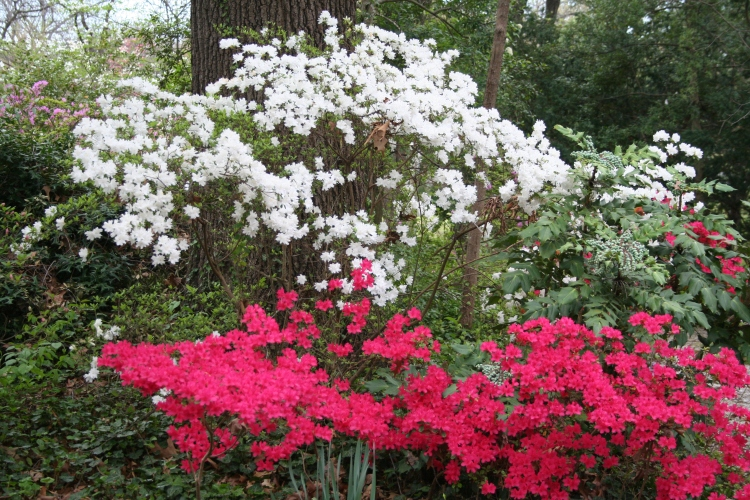 red and white azeleas