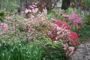 shades of pink azaleas